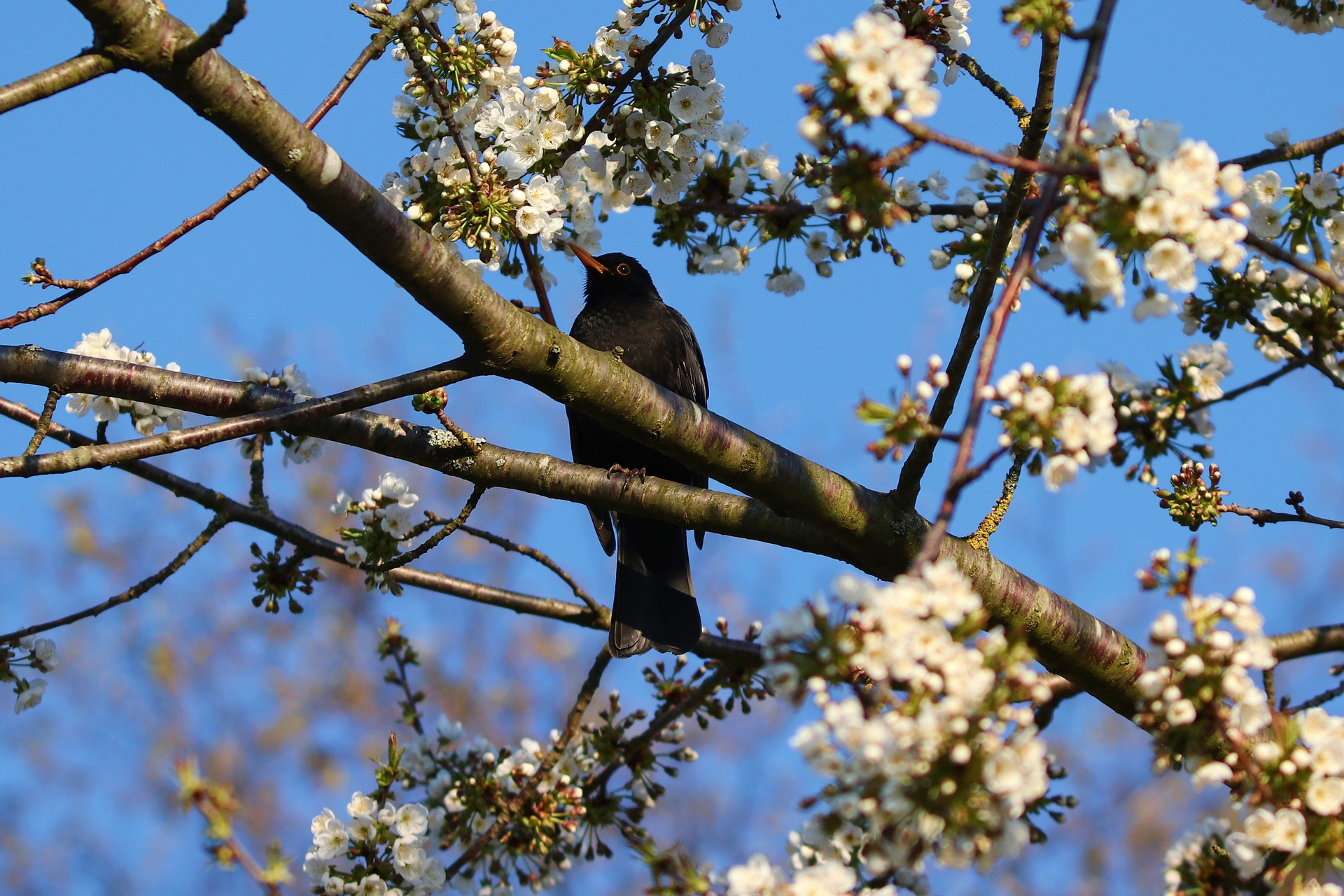 Blossoms and Blackbirds